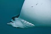 Israel, Eilat, Red Sea, - Underwater photograph of a manta ray (Manta birostris)