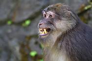 Tibetan macaque, Macaca thibetana, dominant male, Tangjiahe Nature Reserve, Sichuan, China