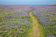 Footpath through field of bluebell wildflowers, Skomer Island, Pembrokeshire Coast national park, Wales, UK
