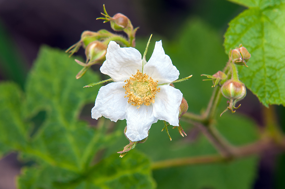 The thimbleberry is a very common fruiting plant in the Pacific NW, well known for its sweet and tasty red raspberry-like thimbleberries.