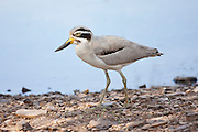 Indian Stone Plover bird, Burhinus oedicnemus indicus, in Ranthambhore National Park, Rajasthan, Northern India