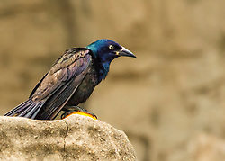 Common Grackles are blackbirds that look like they've been slightly stretched. They're taller and longer tailed than a typical blackbird, with a longer, more tapered bill and glossy-iridescent bodies. Grackles walk around lawns and fields on their long legs or gather in noisy groups high in trees, typically evergreens. They eat many crops (notably corn) and nearly anything else as well, including garbage. In flight their long tails trail behind them, sometimes folded down the middle into a shallow V shape.