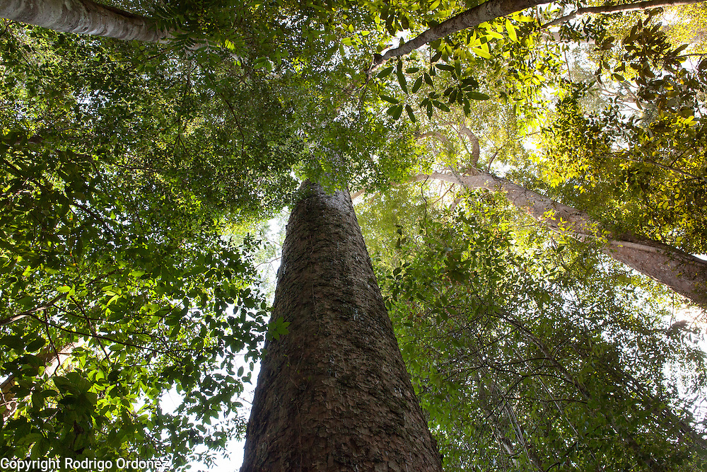 View of an Agathis tree (Agathis borneensis) at the Arsari Lestari conservation forest in Penajam Paser Utara district, East Kalimantan, Indonesia, on March 12, 2016. <br /> (Photo: Rodrigo Ordonez)