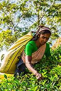 Sri Lanka-Tea plantations