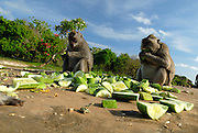 Long-tailed macaques (Macaca fascicularis), also known as the crab-eating macaque, feeding on cucumber provided by temple attendants. Uluwatu temple, Bali, Indonesia.