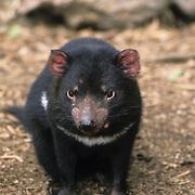 Tasmanian devil (Sarcophilus harrisii), Kangaroo Island, Australia. Captive Animal