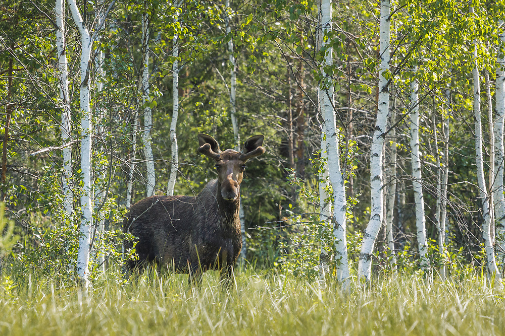 """Moose bull (Alces alces) in summer standing in fen, still a while for its antlers to grow, nature reserve """"Augstroze"""", Latvia Ⓒ Davis Ulands 