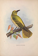Indian golden oriole (Oriolus kundoo) from Zoologia typica; or, Figures of new and rare animals and birds described in the proceedings, or exhibited in the collections of the Zoological Society of London. By Fraser, Louis. Zoological Society of London. Published London, March 1847
