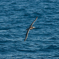A Southern Giant Petrel soars over the Scotia Sea near Antarctica