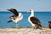 Laysan albatross, Phoebastria immutabilis, side preening during courtship dance, Sand Island, Midway Atoll, Midway National Wildlife Refuge, Papahanaumokuakea Marine National Monument, Northwest Hawaiian Islands, USA ( North Pacific Ocean )