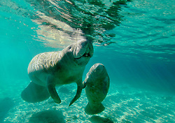 A baby West Indian Manatee calf touching it's mother cow in Three Sisters Springs, Crystal River, Florida in the winter.