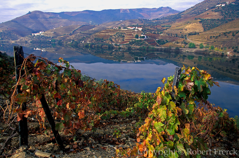 PORTUGAL, NORTH, AGRICULTURE terraced vineyards in heart of the Port Wine area, overlooking the Douro River between Peso da Regua and Pinhao