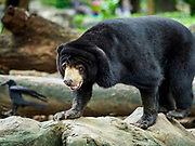 17 AUGUST 2018 - BANGKOK, THAILAND:   A Malayan sun bear on display in Dusit Zoo in Bangkok. The zoo opened in 1938. The zoo grounds were originally the Dusit Royal Garden. The zoo is scheduled to close by the end of August 2018 because it is being relocated to Nakhon Pathom province, south of Bangkok.     PHOTO BY JACK KURTZ