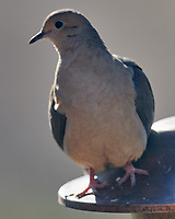 Mourning Dove (Zenaida macroura). Image taken with a Nikon D850 camera and 600 mm f/4 VR lens.