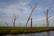 Dead  bald cypress tree  in the marsh a long the Pointe-au-Chien Bayou in Pointe-aux-Chien, Louisiana.
