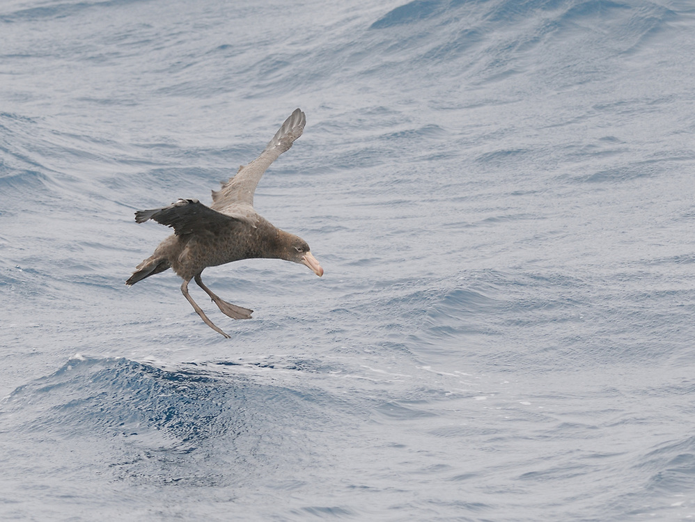 A Northern Giant Petrel (Macronectes halli) comes in to land with feet spread on the sea in a strong wind.  Drake Passage, South Atlantic Ocean.