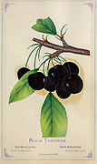 Black Tartarian makes a great choice for home orchards. It produces large, purplish-black fruit with a sweet, rich, full-bodied flavor that is great for fresh eating and preserves. This cultivar is also the best pollinator for other dark sweet cherries. from Dewey's Pocket Series ' The nurseryman's pocket specimen book : colored from nature : fruits, flowers, ornamental trees, shrubs, roses, &c by Dewey, D. M. (Dellon Marcus), 1819-1889, publisher; Mason, S.F Published in Rochester, NY by D.M. Dewey in 1872
