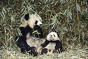 Giant Panda with Baby<br /> Ailuropoda  melanoleuca<br /> Wolong Valley, CHINA<br /> RANGE: CENTRAL CHINA
