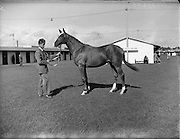 20/09/1954<br /> 09/20/1954<br /> 20 September 1954<br /> Goffs September (Annual Yearling) Bloodstock sales at the RDS, Ballsbridge Dublin.  Image shows one of the horses for sale.
