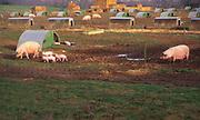 A08CG5 Free range pig farm with breeding sows Suffolk England