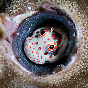 This is a male red-spotted blenny (Blenniella chrysospilos) watching over a clutch of eggs that are nearly ready to hatch.
