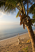 Palm tree on the beach at Oarsman's Bay Lodge, on Nacula Island. Nacula is part of the Yasawa Islands, on the western side of Fiji.