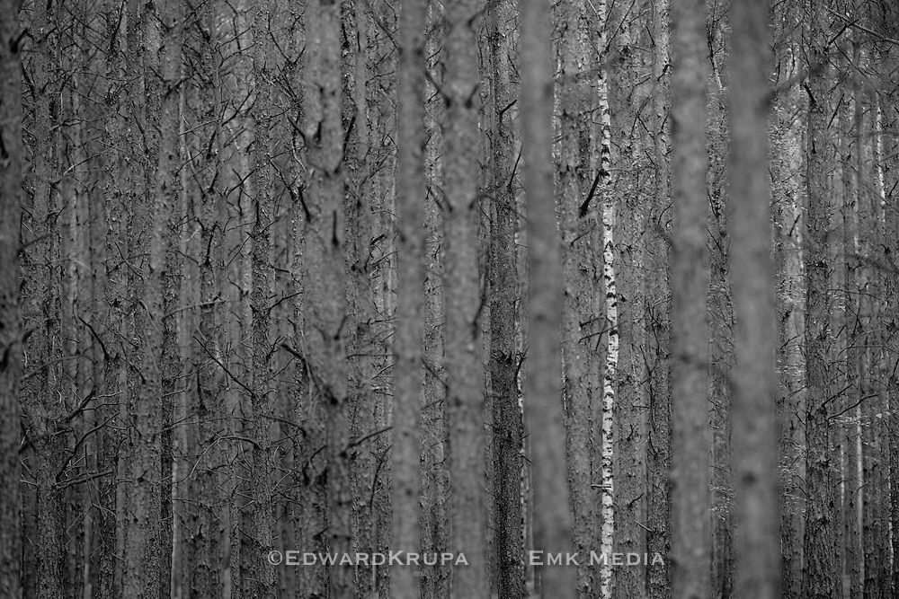 Zagan Pines 10