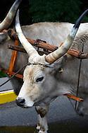 Grey cattle ( Szurka Maraj ) at the Annual wine harvest festival ( szuret fesztival ) - Badacsony - Balaton -  Hungary