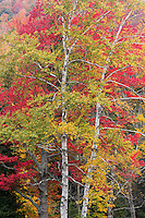 peak color graces the forest canopy in Groton State Forest, Vermont