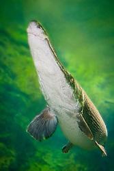 Alligator gar, Atractosteus spatula, Florida, USA (c)