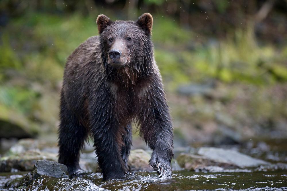 USA, Alaska, Freshwater Bay, Brown (Grizzly) Bear fishing for spawning Sockeye Salmon in small stream along Pavlof Harbor