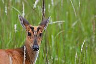A Common Barking Deer (Muntiacus muntjak) in the grasslands of Khao Yai National Park, Thailand.