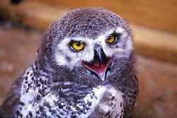 Immature Snowy Owl In Captivity