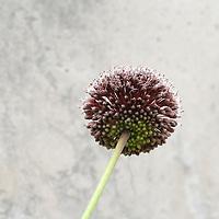 Allium in Conservatory