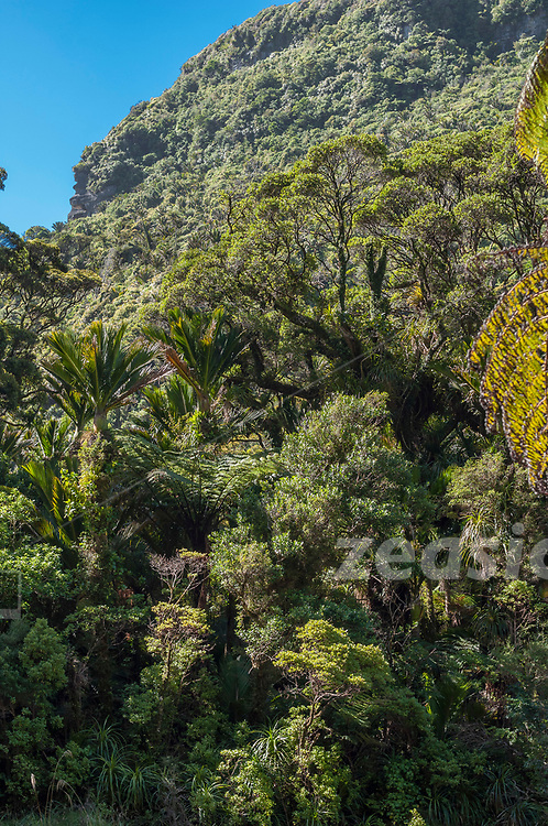 Dense native Forest along the Pororari River in the West Coast of New Zealands South Island.