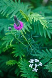 Purple prairie clover (Dalea purpurea) Great Trinity Forest, Dallas, Texas, USA