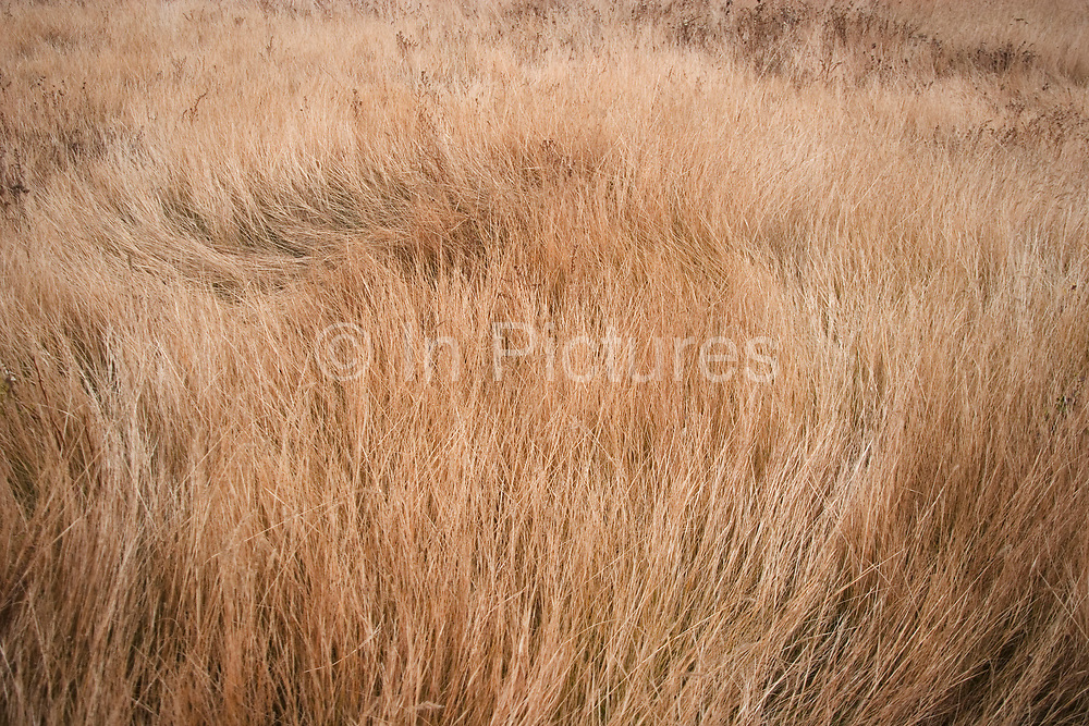 Ancient open prarie of North Dakota west of Minot on a cold morning. Reed beds and grasses cover much of the area. This sparse landscape is undulating with only slightly elevated areas. Although not dramatic the land is wild and beautiful.