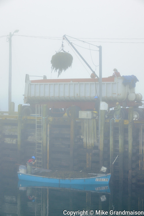 Harvesting seaweed<br /> Grand Manan Island<br /> New Brunswick<br /> Canada