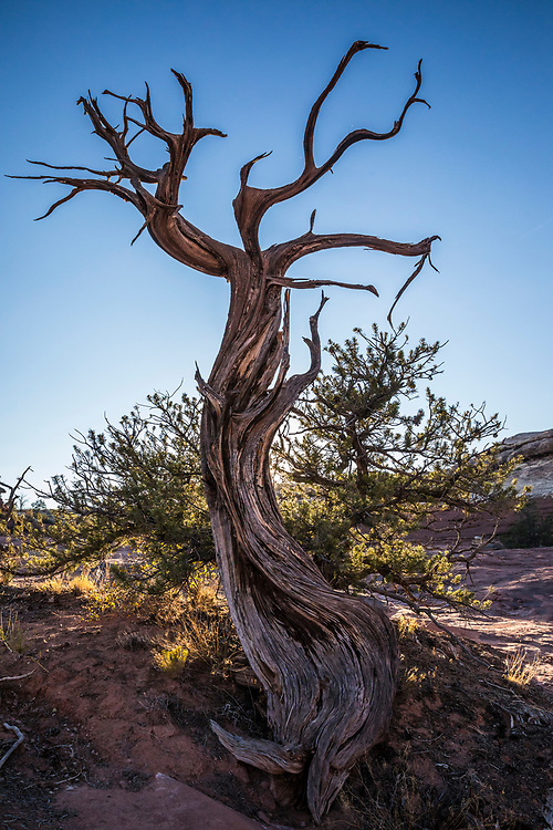 An old Pinion Pine snag with a unique shape, Canyonland National Park, Utah, USA.