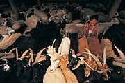Milking goats<br /> Central Mongolia