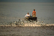 A school or shoal of White Mullet, Mugil curema, flees predatory fish in front of fishermen offshore Palm Beach County, Florida, United States during the fall mullet run.
