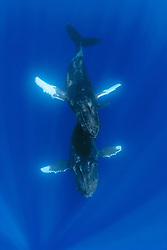 humpback whales, Megaptera novaeangliae, a pair being engaged in courtship, Hawaii, Pacific Ocean