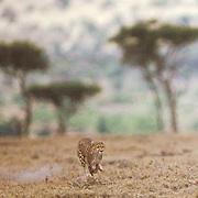 Cheetah, (Acinonyx jubatus) Adult in pursuit of prey across plains of Masai Mara Game Reserve. Kenya. Africa.