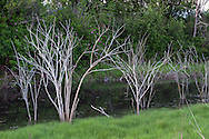 The skeletons of dead shrubs line a tidal drainage channel at Blackie Spit in Surrey, British Columbia, Canada
