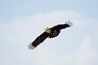 Kaiseradler mit grünem Zweig im Flug, Aquila heliaca, Ost-Slowakei / Eastern Imperial Eagle with green in flight, Aquila heliaca, East Slovakia