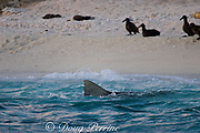 tiger shark ( Galeocerdo cuvier ) patrols beach where fledgling black-footed albatross chicks ( Phoebastria nigripes ) are preparing to take their first flight, East Island, French Frigate Shoals, Papahanaumokuakea National Monument, <br /> Northwest Hawaiian Islands ( Central Pacific Ocean )