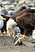 An adult bald eagle eats fish scraps on the beach at Anchor Point, Alaska.