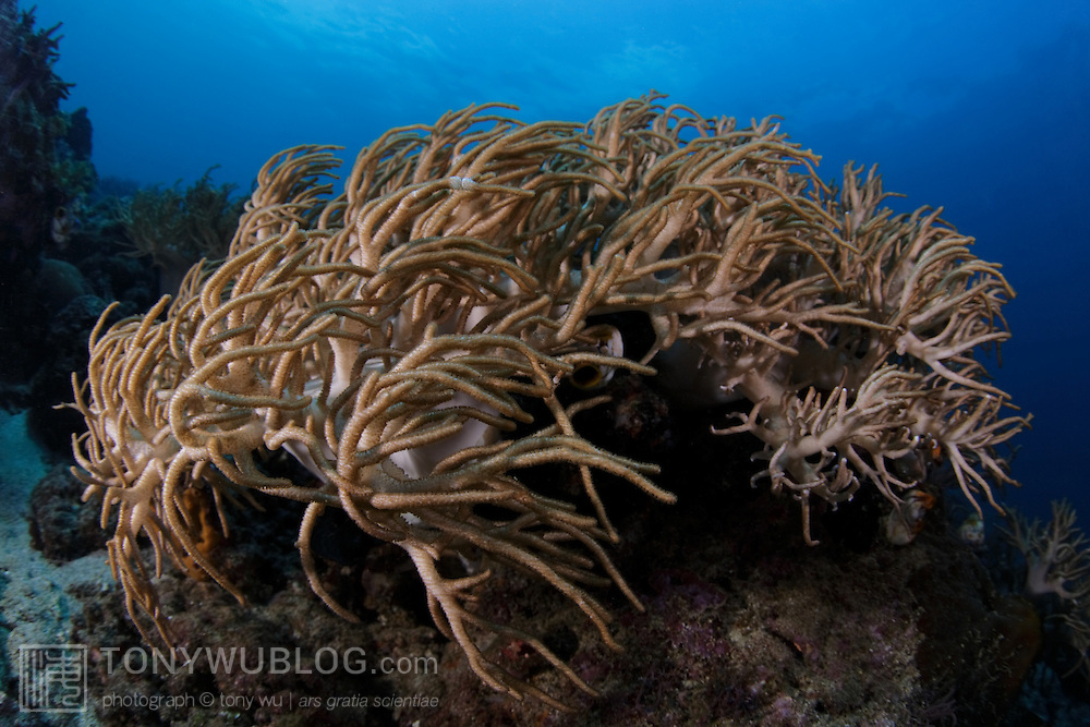 Soft coral on the outer reef of Ambon, Indonesia
