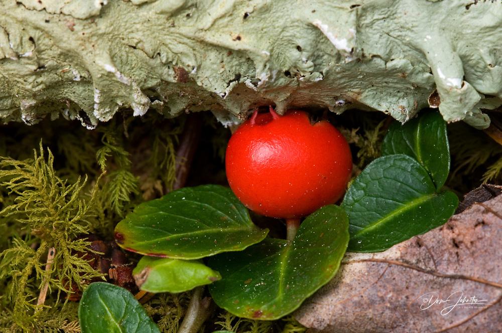 Partridge berry (Mitchella repens) Ripe berry under lichen covered stick, Greater Sudbury, Tennessee, USA