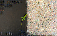 Cuban Green Anole, Anolis porcatus